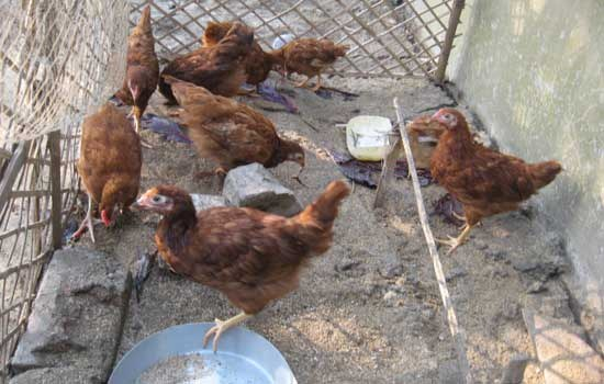 Backyard Poultry Farming Through Self Help Groups In West Bengal   Towards  Good Livestock Policies