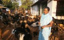 Collective Action to Reduce Goat Mortality - A Case Study of interventions supported by PRADAN in District Kandhamal, Odisha