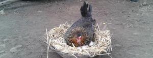 Baseline Assessment Study - Backyard Poultry Rearing, Rama Block, District Jhabua, Madhya Pradesh