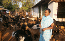 Goat rearing is much more than just an additional source of income, observes Sebati Digal, Self Help Group paravet, Jargi village, District Kandhamal, Odisha